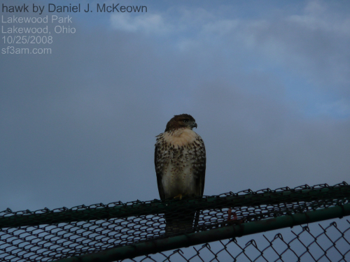 hawk on a backstop in Lakewood Park, Ohio, by Daniel J. McKeown